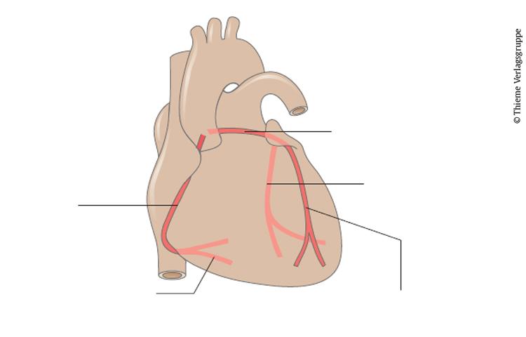 Teste dein Wissen: Gefäßversorgung des Herzens - Vorklinik - via medici